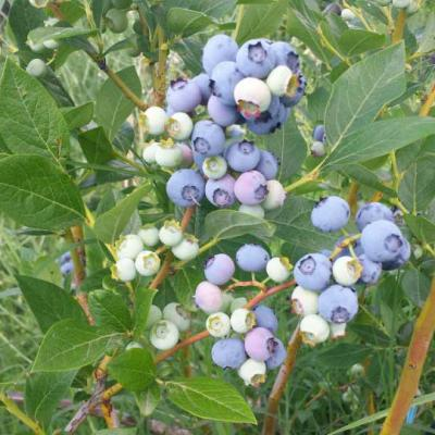 Plantation Blueberry Biodrama 03