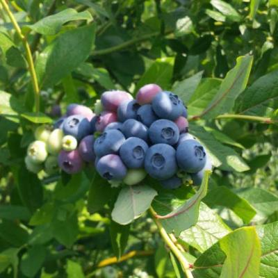 Plantation Blueberry Biodrama 06